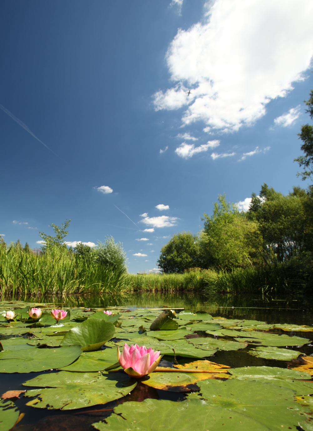 Water lilies 2 by I Green